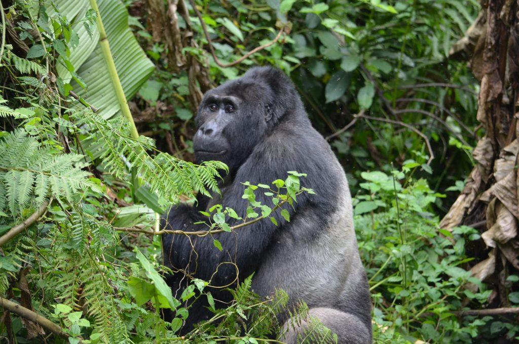 gorilles ouganda ou aller voir gorilles
